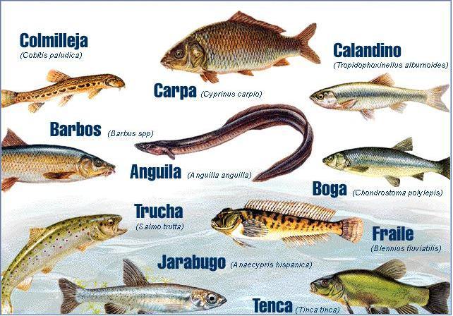 Peces derio for Especies de peces